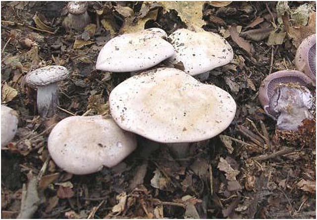 Wood blewit, Naked mushroom