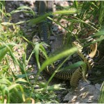{barganews_snakes } mating grass snakes in barga
