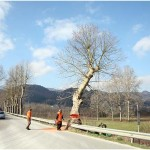 {barganews} The Plane trees around Barga under threat