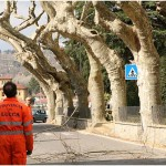 {barganews} Timing of pruning Plane trees questioned