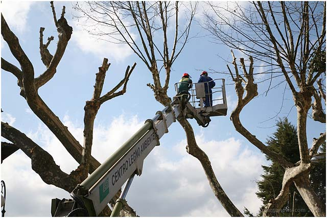 Timing of pruning Plane trees questioned